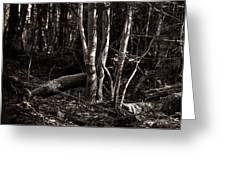 Birches In The Wood Greeting Card