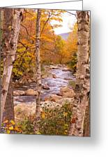 Birches On The Kancamagus Highway Greeting Card