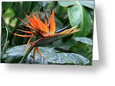 Bird Of Paradise 1 Greeting Card