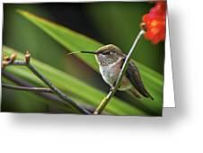Birds Of Bc - No. 31 - Rufous Hummingbird - Selasphorus Rufus Greeting Card