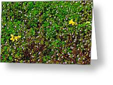 Birdsfoot Trefoil Surrounded By Tiny Bright Eyes In Campground In Saginaw-minnesota Greeting Card