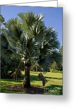 Bismarck Palm Greeting Card