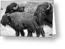 Bison - Way Out West Greeting Card