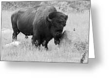 Bison And Buffalo Greeting Card