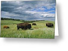 Bison And Their Calves Graze In Custer Greeting Card