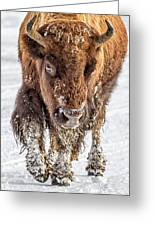 Bison Approaching  8163 Greeting Card
