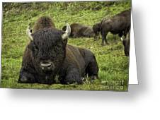 Bison Bliss Greeting Card
