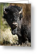 Bison Bull Greeting Card