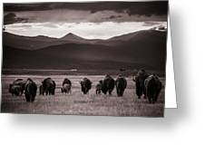 Bison Herd Into The Sunset - Bw Greeting Card