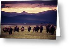 Bison Herd Into The Sunset Greeting Card