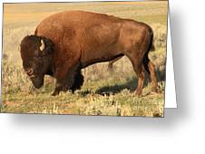 Bison Huffing And Puffing For Herd Greeting Card