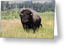 Bison In Grass Greeting Card