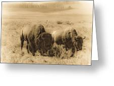 Bison Pair Greeting Card