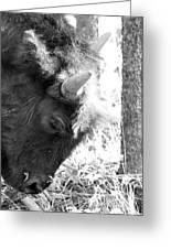 Bison Portrait Monochrome Greeting Card