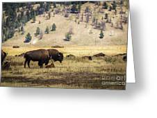 Bison With Calf Greeting Card