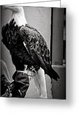 Black And White Bald Eagle Greeting Card