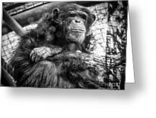 Black And White Chimp Greeting Card