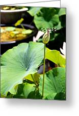 Black And White Dragonfly On A Lotus Bud Greeting Card