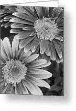 Black And White Gerber Daisies 2 Greeting Card