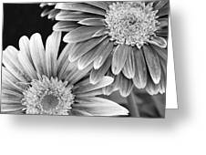 Black And White Gerber Daisies 3 Greeting Card