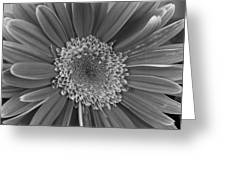 Black And White Gerber Daisy 4 Greeting Card