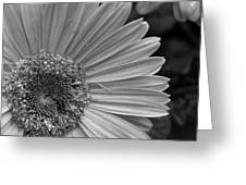 Black And White Gerber Daisy 5 Greeting Card