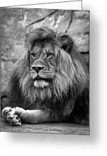 Black And White Lion Pose Greeting Card