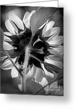 Black And White Sunflower 5 Greeting Card