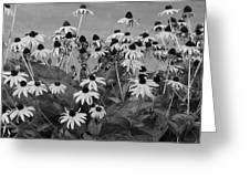 Black And White Susans Greeting Card