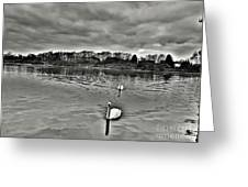 Black And White Swans  Greeting Card
