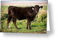 Black Angus Calf In Green Grassy Pasture Greeting Card