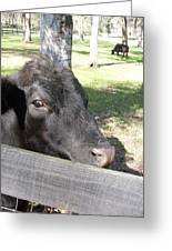 Black Angus On The Side Greeting Card