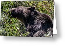 Black Bear In Glacier Eating Greeting Card