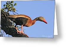 Black Belied Whistling Duck Greeting Card