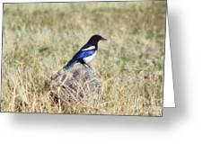 Black-billed Magpie Greeting Card