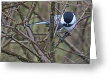Black Capped Chickadee Greeting Card