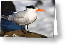 Black Crested Gull Greeting Card