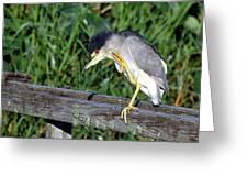 Black Crown Night Heron Scratching Greeting Card