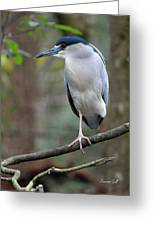 Black Crowned Night Heron IIi Greeting Card