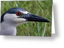 Black-crowned Night-heron Greeting Card