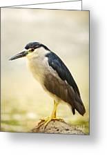 Black Crowned Night Heron Greeting Card