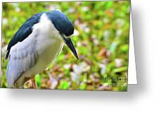 Black-crowned Night Heron Greeting Card