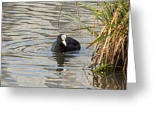 Black Duck On Pond Greeting Card