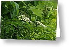 Black Elderberry - Sambucus Nigra_0261black Elderberry - Sambucus Nigra Greeting Card
