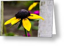 Black Eyed Susan Delight Greeting Card
