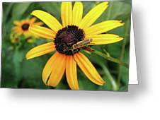 Black-eyed Susan With Soldier Beetle  Greeting Card