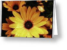 Black Eyed Susans. Looks Like They're Greeting Card