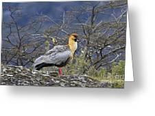 Black-faced Ibis Greeting Card