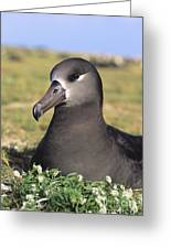 Black Footed Albatross Greeting Card
