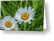 Black-headed Daisy's Greeting Card